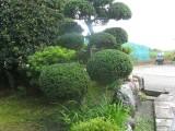 ilex crenata bonzaÏ, niwaki, taille en nuage