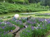 fleur iris, japon