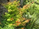 Acer palmatum Sengokaki et crocosmia, association de couleurs chaudes