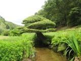 Chêne tétard vu de la rivière