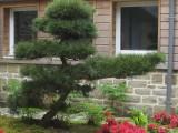 Taille japonaise sur pin Niwaki